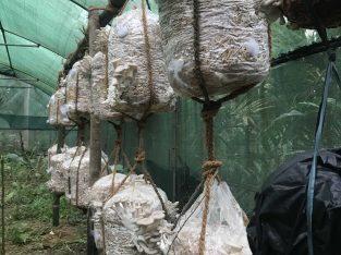 Hanging OysterMushroom grow kit